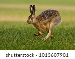 Stock photo hare is running in the beautiful light on green grassland european wildlife wild animal in the 1013607901