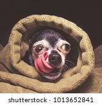 cute chihuahua in a blanket... | Shutterstock . vector #1013652841