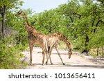 beautiful view two giraffes...   Shutterstock . vector #1013656411