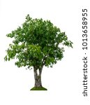 Small photo of The Big tree on white background. banyan Ficus benjamina;Weeping fig, Ficus tree;Ficus benjamina