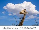 close up view of a giraffe's...   Shutterstock . vector #1013663659