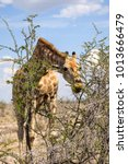 close up view of a giraffe...   Shutterstock . vector #1013666479