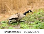 Canada geese (branta Canadensis) in a meadow - stock photo
