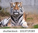 tiger laying on the ground look ... | Shutterstock . vector #1013719285