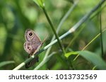 Two Brown Butterfly Breeding O...
