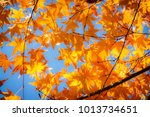 beautiful yellow maple leaf in... | Shutterstock . vector #1013734651