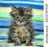 little funny fluffy kitten at... | Shutterstock . vector #1013737429