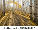 Aspen Trees In Locket Meadow ...