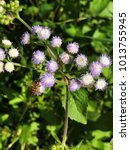Small photo of Honey bee is sucking nectar of Ageratum conyzoides or Billygoat weed or Chick weed or Goatweed or Whiteweed flower.