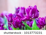 close up of purple tulips in... | Shutterstock . vector #1013773231