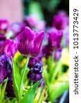 close up of purple tulips in... | Shutterstock . vector #1013773429