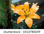 the beautiful orange lily in... | Shutterstock . vector #1013780659