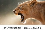 lioness roaring angry | Shutterstock . vector #1013856151