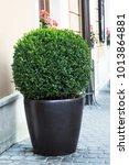 big evergreen tree buxus...   Shutterstock . vector #1013864881