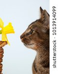 Small photo of Cute part Abyssinian young male cat studying a daffodil
