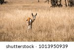 a curious gazelle looking back... | Shutterstock . vector #1013950939