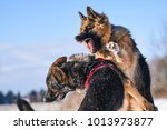 agressive dogs. dog attack. dog ... | Shutterstock . vector #1013973877