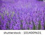 lavender flower field  fresh... | Shutterstock . vector #1014009631