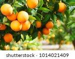 summer  background. lemon garden | Shutterstock . vector #1014021409