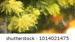 spring background with mimosa... | Shutterstock . vector #1014021475