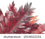 Small photo of Maple leaf scientific name is Scientific name Hibiscus acetosella Welw. Ex Hiern.