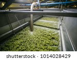 White Grapes In The Strainer T...