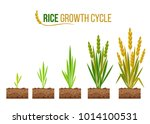rice growth cycle 5 step... | Shutterstock .eps vector #1014100531