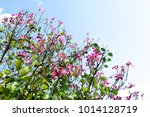 mountain ebony   orchid tree  ... | Shutterstock . vector #1014128719