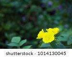 lovely yellow flowers on a... | Shutterstock . vector #1014130045