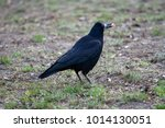 black crow holds a beak in his... | Shutterstock . vector #1014130051