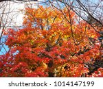 red maple leaf fall during... | Shutterstock . vector #1014147199