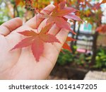 red maple leaf fall during... | Shutterstock . vector #1014147205