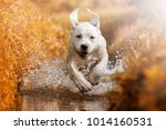 a young labrador retriever dog... | Shutterstock . vector #1014160531