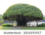big banyan tree near the lake. | Shutterstock . vector #1014191917