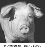 Pig Portrait   Black And White...