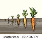 carrot cultivation. vegetable... | Shutterstock .eps vector #1014287779