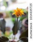 calathea crocata as home plant. ... | Shutterstock . vector #1014335725