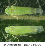 Small photo of Female of Empoasca vitis leafhopper from the family Cicadellidae, in the top and side.
