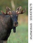 Small photo of Male moose (Alces alces)