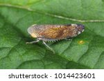 fieberiella septemtrionalis... | Shutterstock . vector #1014423601