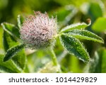 Clover Flower Clover Water Frost