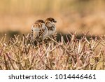 male or female house sparrow or ... | Shutterstock . vector #1014446461
