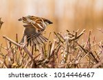 male or female house sparrow or ... | Shutterstock . vector #1014446467