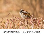 male or female house sparrow or ... | Shutterstock . vector #1014446485