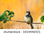 male or female house sparrow or ... | Shutterstock . vector #1014446521