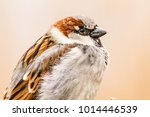 male or female house sparrow or ... | Shutterstock . vector #1014446539