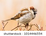 male or female house sparrow or ... | Shutterstock . vector #1014446554