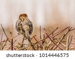 male or female house sparrow or ... | Shutterstock . vector #1014446575
