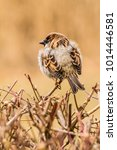 male or female house sparrow or ... | Shutterstock . vector #1014446581