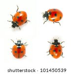 Red Ladybugs Isolated On The...